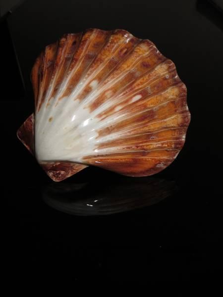 Kammmuschel | Shellmuschel